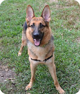 German Shepherd Dog Dog for adoption in Milton, Massachusetts - Scampi