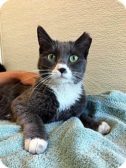 Domestic Shorthair Cat for adoption in Las Vegas, Nevada - Loretta