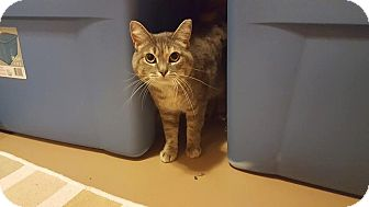 Domestic Shorthair Cat for adoption in Rochester, Minnesota - Bandit