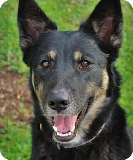 German Shepherd Dog/Husky Mix Dog for adoption in Red Bluff, California - PHOEBE