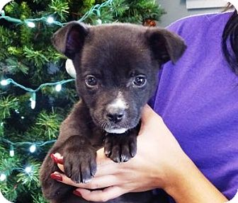 Terrier (Unknown Type, Medium) Mix Puppy for adoption in Lathrop, California - Holiday