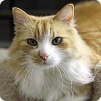 Domestic Longhair Cat for adoption in Pacific Grove, California - Tama