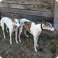 Adopt A Pet :: Yogi (Wild Wooly Bully) - Cottonwood, AZ