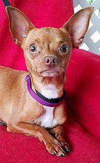 Chihuahua Mix Dog for adoption in Hamilton, Ontario - Opera