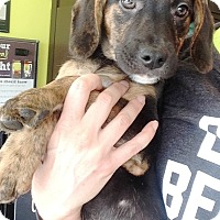 Adopt A Pet :: Gracie pup 4 - Pompton Lakes, NJ