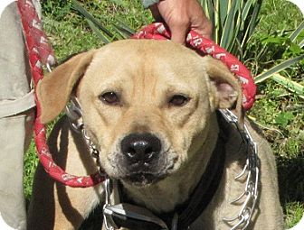Boxer/Mastiff Mix Dog for adoption in Springfield, Virginia - Brady