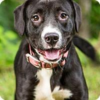 Adopt A Pet :: Cat Valentine - Clarkesville, GA