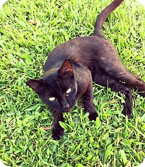 Domestic Shorthair Cat for adoption in Waggaman, Louisiana - Snapchat