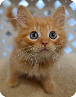 Domestic Mediumhair Kitten for adoption in Michigan City, Indiana - Earl