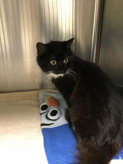 Domestic Mediumhair/Domestic Shorthair Mix Cat for adoption in Barco, North Carolina - Cherry