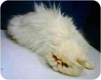Persian Cat for adoption in Ardsley, New York - Buba
