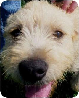 Terrier (Unknown Type, Small)/Wheaten Terrier Mix Puppy for adoption in Marseilles, Illinois - Sundance Kid