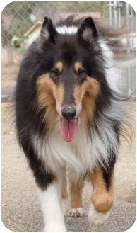 Collie Dog for adoption in Gardena, California - Boze