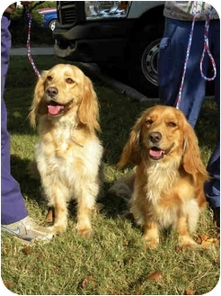 Golden Retriever/Spaniel (Unknown Type) Mix Dog for adoption in Hamburg, Pennsylvania - Puggles & Tuggles