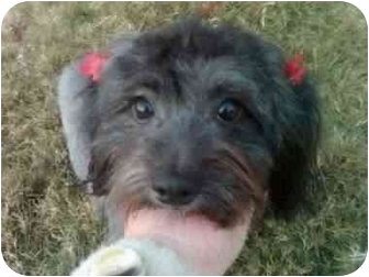 Schnauzer (Miniature)/Poodle (Miniature) Mix Dog for adoption in Arlington, Texas - Star