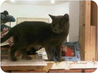 Russian Blue Cat for adoption in Medford, Massachusetts - Cosmopolitan
