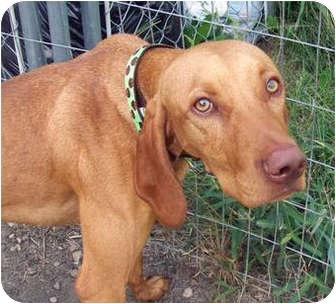 Vizsla Dog for adoption in Marseilles, Illinois - Fritz