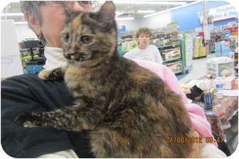 Domestic Shorthair Cat for adoption in Sterling Hgts, Michigan - Louise (pink nose)