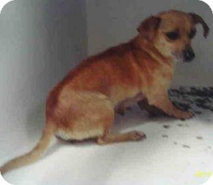 Chihuahua Mix Dog for adoption in Yuba City, California - Rosie