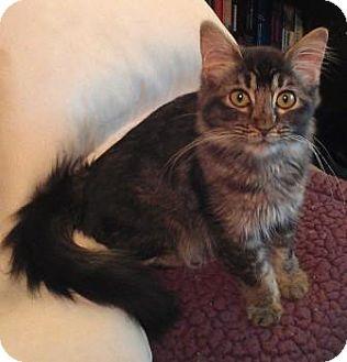 Maine Coon Kitten for adoption in Davis, California - Gandalf