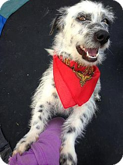 Terrier (Unknown Type, Small) Mix Dog for adoption in Mission Viejo, California - TRISTAN