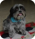 Shih Tzu/Lhasa Apso Mix Dog for adoption in Shawnee Mission, Kansas - Collier