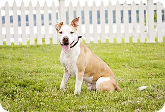 American Pit Bull Terrier Mix Dog for adoption in Kingston, Washington - OVERO