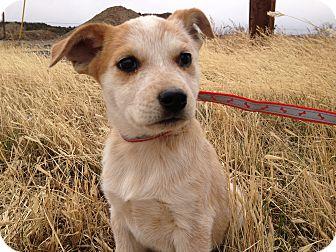 Blue Heeler/Labrador Retriever Mix Puppy for adoption in Westminster, Colorado - ChiChi