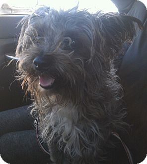 Yorkie, Yorkshire Terrier/Poodle (Miniature) Mix Dog for adoption in Wappingers, New York - Froto