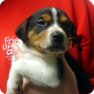 Beagle/Australian Cattle Dog Mix Puppy for adoption in Greencastle, North Carolina - Quadell