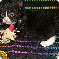 Adopt A Pet :: Feral Kitten #1 - Yakima, WA