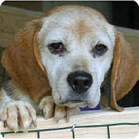 Adopt A Pet :: Abbey - Portland, OR