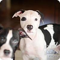 Adopt A Pet :: Smalls - Clarksburg, MD
