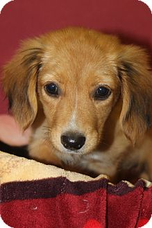 Collie/Dachshund Mix Puppy for adoption in Waldorf, Maryland - Talulah