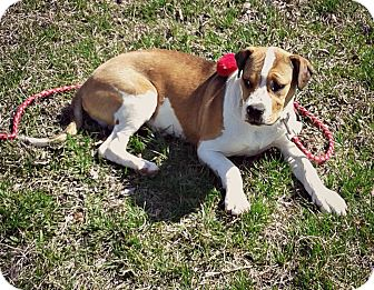 Boxer/American Pit Bull Terrier Mix Puppy for adoption in Virginia Beach, Virginia - Benny