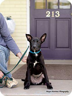 Labrador Retriever/Terrier (Unknown Type, Medium) Mix Puppy for adoption in Knoxville, Tennessee - Natalie