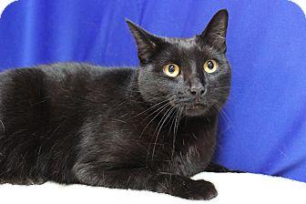 Domestic Shorthair Cat for adoption in Midland, Michigan - Zomba