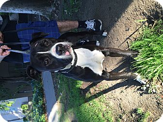 Pit Bull Terrier Mix Puppy for adoption in Santa Monica, California - Luke