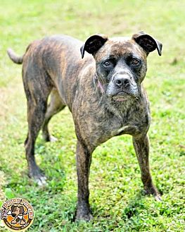 American Bulldog/Boxer Mix Dog for adoption in Mt. Vernon, Indiana - Money