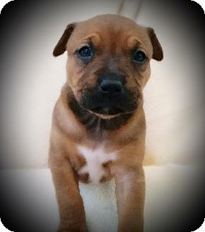 Australian Shepherd/Boxer Mix Puppy for adoption in Rancho Cucamonga, California - LILA