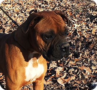 Boxer Dog for adoption in Pewaukee, Wisconsin - Stallone
