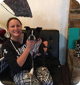 Boston Terrier Dog for adoption in Weatherford, Texas - Starla