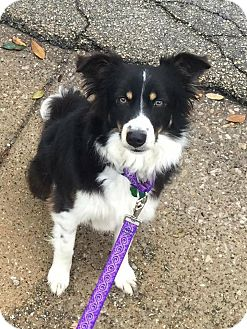 Border Collie Mix Dog for adoption in Allen, Texas - Adalida