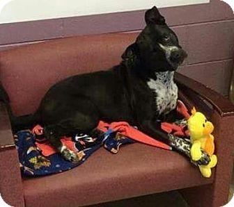 Boxer/Border Collie Mix Dog for adoption in Lima, Pennsylvania - Joel