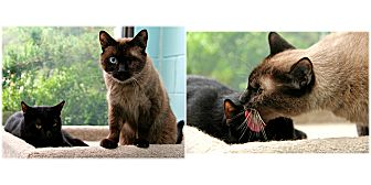 Siamese Cat for adoption in Forked River, New Jersey - Mika & Midnight