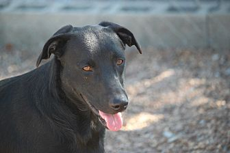 Labrador Retriever/Collie Mix Dog for adoption in Jewett City, Connecticut - Idaho