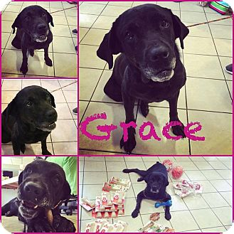 Rottweiler/Labrador Retriever Mix Dog for adoption in Steger, Illinois - Grace