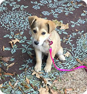 German Shepherd Dog/Labrador Retriever Mix Puppy for adoption in Nyack, New York - Sally