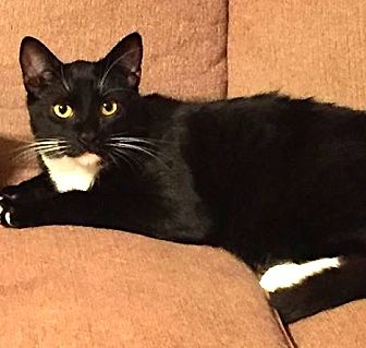Domestic Shorthair Cat for adoption in Los Angeles, California - Pippen