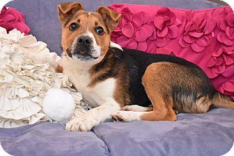 German Shepherd Dog/Beagle Mix Puppy for adoption in Eden Prairie, Minnesota - Jesse